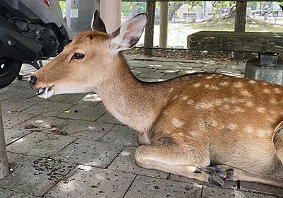 観光客戻った奈良で、口から泡を吹くシカを目撃!…身勝手な餌やりが原因か 愛護会は「本当にやめて」|まいどなニュース