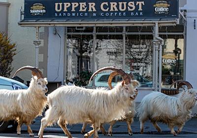 ヤギ120頭、人類に代わって街をのし歩く。新型コロナで異変 | ハフポスト