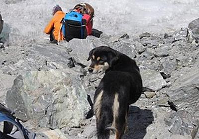 痛いニュース(ノ∀`) : 野良犬「なんかエサくれる人おるやん!」 → ヒマラヤ登山隊についていき、そのまま登頂に成功する - ライブドアブログ