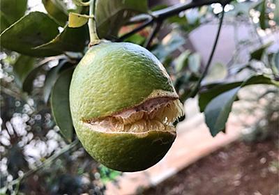 【レモン】収穫直前の実が割れた!その原因は長雨にあった!? - アタマの中は花畑