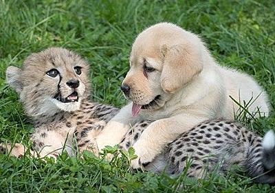 犬ってやっぱりすごい。犬と過ごすことでチーターの緊張と恥ずかしがりが改善されるらしい。 : カラパイア