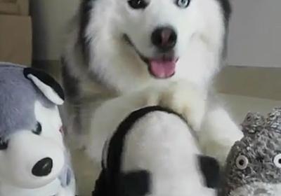 「大親友? パンダだワン!」 質問すると必ずパンダのぬいぐるみを選ぶハスキー犬がかわいすぎ - ねとらぼ