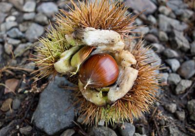 栗が落ち始めて秋を感じます - t0zawa's blog