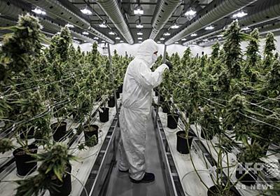 大麻、飲料・食品メーカーの「金の卵」か 写真2枚 国際ニュース:AFPBB News