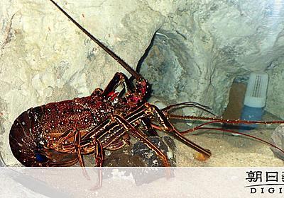 長崎・五島で巨大イセエビ捕獲 水族館職員「マジか!」:朝日新聞デジタル