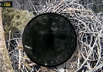 ライブカメラでビッグフット発見?(動画あり) ミシガン州でタカの巣撮影中に - ITmedia NEWS