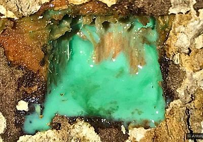 樹液から「ニッケル」が染み出る植物により、未来の鉱業が一変するかもしれない | ナゾロジー