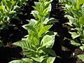 ストレスを受けた植物は「超音波の悲鳴」を上げていると研究で判明 - GIGAZINE