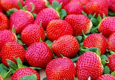 名前は「いちごさん」 佐賀県産イチゴの新品種  人気品種より「おいしい」4割超|行政・社会,経済・農業|佐賀新聞ニュース|佐賀新聞LiVE