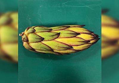 ドラゴンフルーツの蕾を思いつきで分解したらすごい苦行が待っていた「手を出しちゃいけないヤツ」渋谷区ふれあい植物センターさんの記録 - Togetter