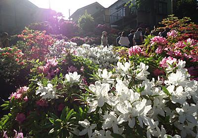 江東区亀戸 四月二十一日の亀戸天神の藤棚は、すでに開花してました!!! - 涅槃まで百万歩