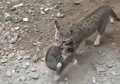 スーパー忍者キャット!? 子猫をくわえたまま高い壁を登る母猫 | JOY NEWS