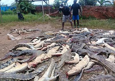 ワニ約300匹殺される、男性1人死亡の「報復」 インドネシア 写真3枚 国際ニュース:AFPBB News
