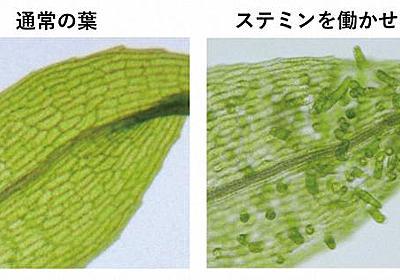 挿し木ができる秘密…幹細胞に戻す植物の「スイッチ」遺伝子発見 基生研 - 毎日新聞