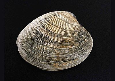 92歳の長生き貝、津波を生き延びていた! – 日本最長寿の二枚貝殻が明らかにする地球環境変動 | academist Journal