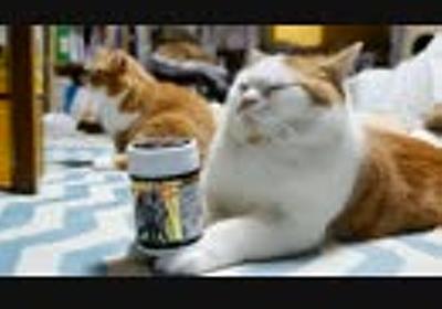 【マンチカンズ】のせ猫ルナ坊