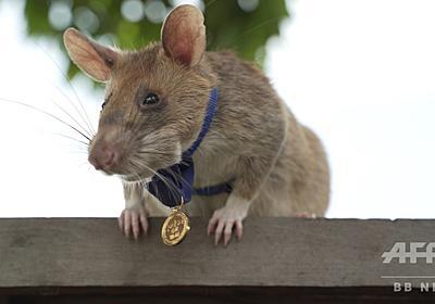 地雷除去に貢献のネズミに金メダル、英団体が動物界最高の賞授与 写真8枚 国際ニュース:AFPBB News