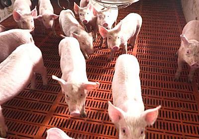 CNN.co.jp : アフリカ豚コレラで1億頭処分、緊急備蓄の放出も 中国