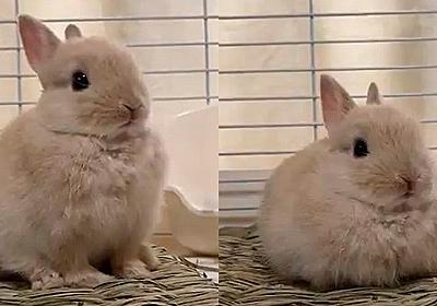 「可愛すぎ」「これなかなか撮れない」 子ウサギが前足をシュッと収納する瞬間をとらえた映像に癒やされる人続出
