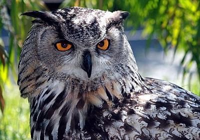 外国人「フクロウの足ってこんなに長かったの?」比較画像に驚く:らばQ