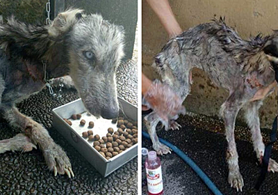 This Husky Was Found So Malnourished She Looked Like A Skeleton, 10 Months Later She's Unrecognizable | Bored Panda