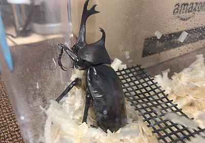 見える観察ケース「ラクぼっくす」で国産カブトムシの幼虫→蛹→羽化までを観察してみる【蛹化・羽化・取り出し編】 - そつがないのそつってなに?