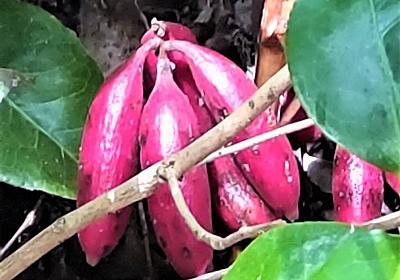 見掛けない植物に注意!里山の秋に出現する奇妙な実やキノコは何者か? - 趣味を楽しむDIYな暮らし