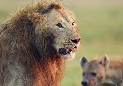 800万回超も再生された「百獣の王ライオンがハイエナに囲まれ絶体絶命の瞬間」を捉えたムービー - GIGAZINE