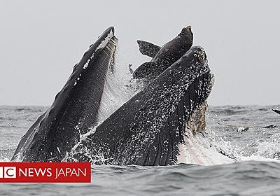 クジラがトドを丸飲みに… 米カリフォルニアで撮影 - BBCニュース