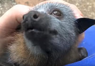 顔だけじゃなくそのなつきっぷりまで。空飛ぶ子犬かよ!ってくらいコウモリの犬化が著しい件に関して(オーストラリア) : カラパイア