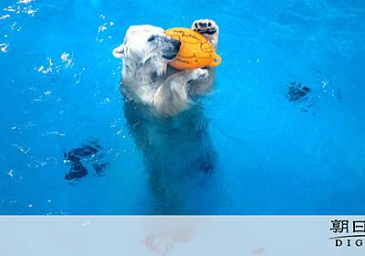 さびしさで一人遊び習得? 熊本の人気ホッキョクグマ:朝日新聞デジタル