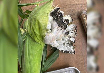 トウモロコシに黒穂病が出た→グロいけど食べられると判明してまさかの食レポへ「食えるのこれ!?」 - Togetter