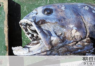 生態系の頂点?深海魚ヨコヅナイワシ発見 体重25キロ:朝日新聞デジタル