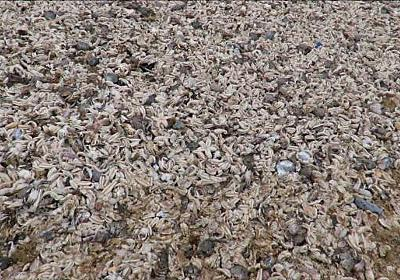 CNN.co.jp : 寒波でヒトデが大量死、海岸覆い尽くす 英国