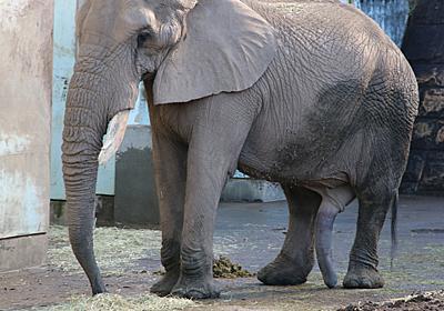ゾウは陰茎も長い - パレード