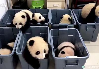 パンダの赤ちゃんたちが脱走を試みるただただ癒やされるムービー - GIGAZINE