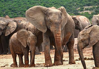 うれしいニュース。絶滅が危惧されていたケニアの象が30年で倍に : カラパイア