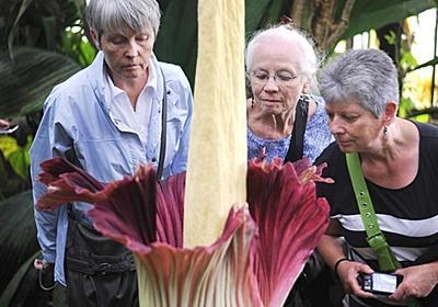 10年に一度咲く巨大な花、観賞に長蛇の列 仏ナント 写真6枚 国際ニュース:AFPBB News