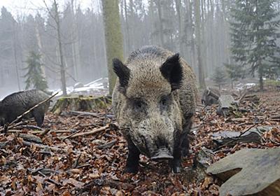 害獣の「猪」を特産品に変えた石川の創意工夫 | レジャー・観光・ホテル | 東洋経済オンライン | 経済ニュースの新基準