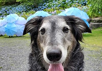 息子(大型犬)と一緒に、紫陽花と風鈴を観に袋井市にある「法多山」でお散歩してきました。 - にちぶろぐ
