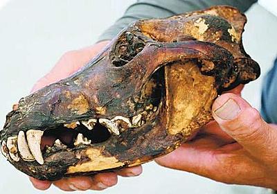 魔よけに保存か 民家にニホンオオカミの頭骨 徳島の話題 徳島ニュース 徳島新聞
