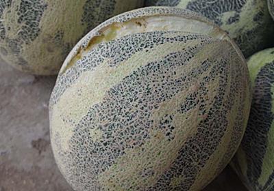 規格外の甘さの果物、ハミウリを知っているか?|太田貴之 Takayuki Ota|note