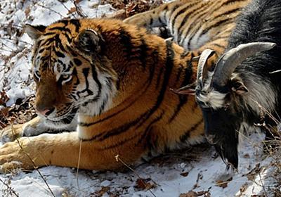 餌のヤギと友情育むトラ、ロシアで感動呼ぶ 写真7枚 国際ニュース:AFPBB News