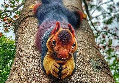 色のグラデーションが絶妙!ダークレインボーな毛皮と大き目のサイズ感が魅力のインドオオリスにズームイン! : カラパイア
