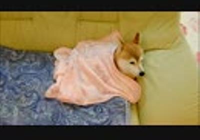 柴犬ひかいちと猫ミルキー ぬくぬくお昼寝