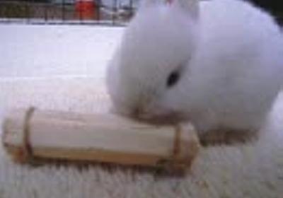 仔ウサギ、おやつを齧る