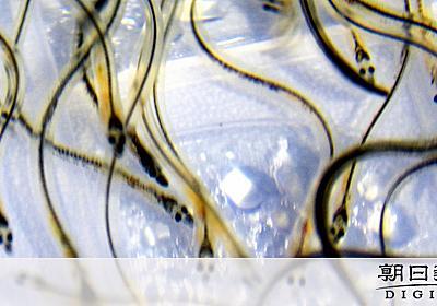 目指せ、ウナギ完全養殖の実用化 稚魚配布し検証へ:朝日新聞デジタル