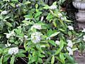 レモンマートルの育て方とお茶の楽しみ【オージーガーデニングのすすめ】 | GardenStory (ガーデンストーリー)