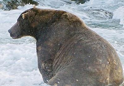 食べ過ぎちっち。サケを大量に食べて太り過ぎたクマ、崖を登るのも一苦労(アメリカ) : カラパイア