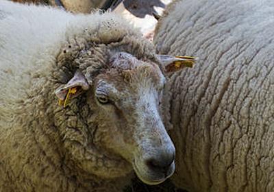 人間と羊のハイブリッドが糖尿病治療や臓器移植にとっての光となるか? - GIGAZINE